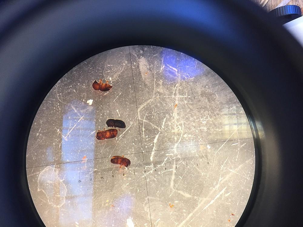 Shot hole beetles under microscope