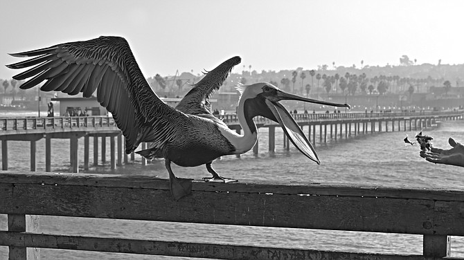 A fisherman throws fish to a patiently waiting pelican.