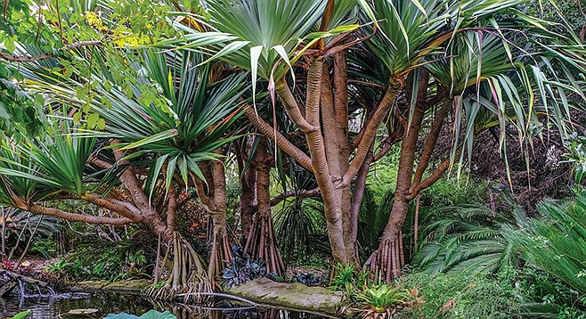 The Screw Pine or Pandan is more closely related to a lily than a pine