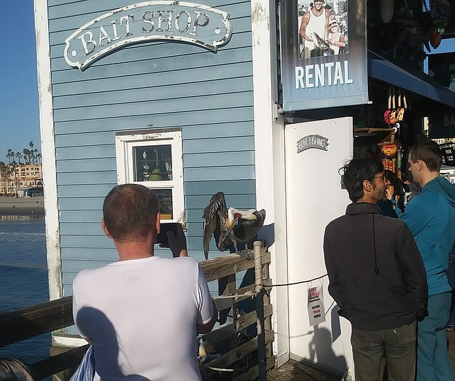 """Pelican at bait shop.""""Over the years I've coaxed them to come here."""""""