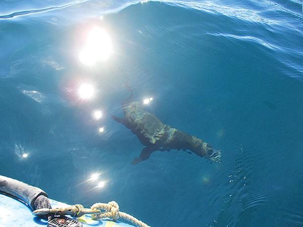 Playful sea lions can get close to the kayak,  especially when near Isla Asunción.