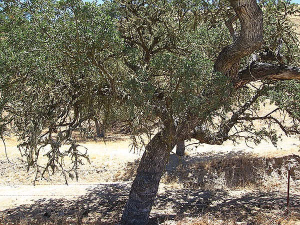 Coastal Live Oak at Mission Trails