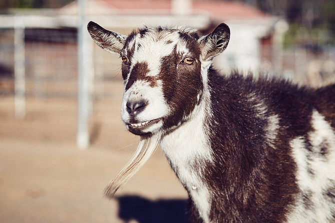 Dolly the goat