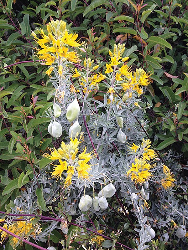 Bladderpod is found on the trail
