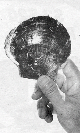 A rock scallop's shell acts as a glue as it grows.