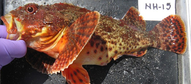 Scorpaena guttata, commonly called sculpin or California scorpionfish