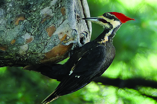Woodpeckers, parrots, and raptors