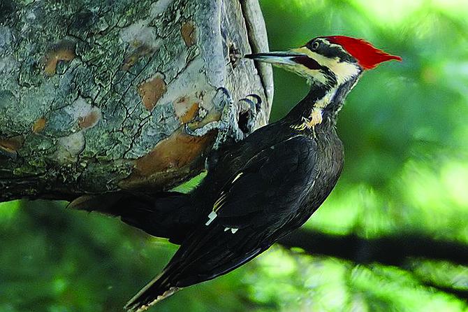 Woodpeckers, parrots, and raptors