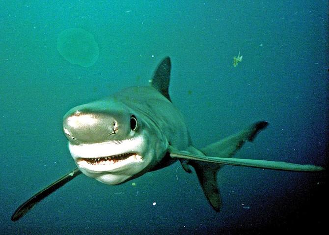 Blue Shark, Prionace glauca, June, 1993, 30 miles off San Diego