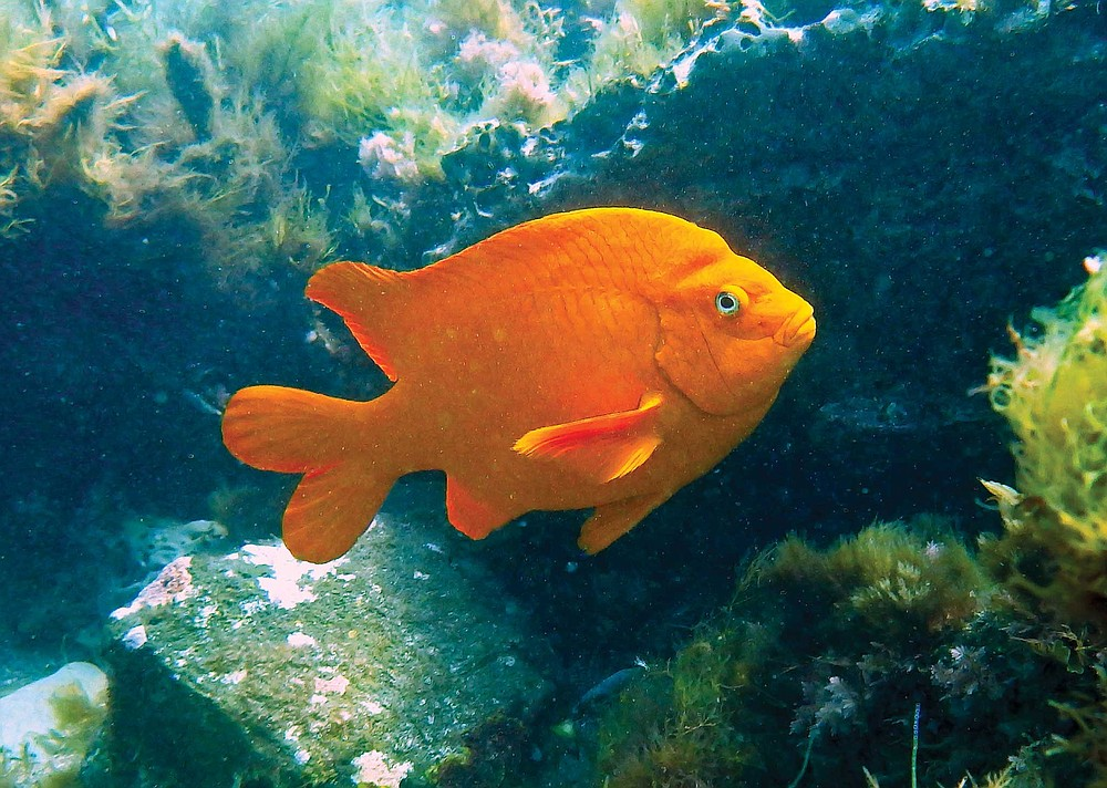 Garibaldi, Hypsypops rubicundus, March 12, 2015, in the rocks covering the outfall below the Pt. Loma sewage treatment plant