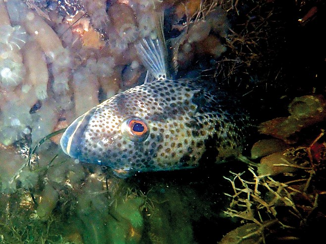 Spotted Bay Bass, Paralabrax maculatofasciatus, March 3, 2016, Glorietta Bay, snoozing belly-up beneath the green buoy