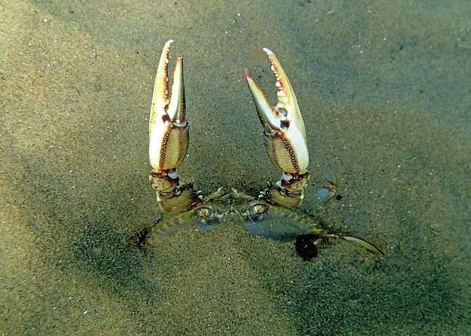 Blue crab molted, not dead