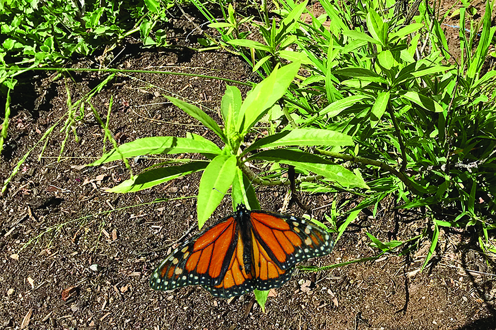 Steve's one remaining Milkweed plant. Monarch caterpillars need them to survive