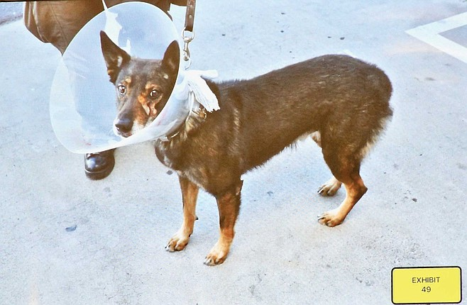 Banjer wore a cone, after his stab wound was stapled.