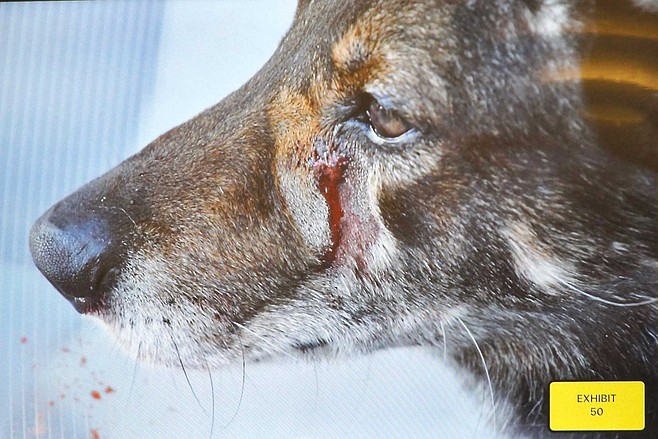 Closeup photo of stab wound on dog's face, see one staple.