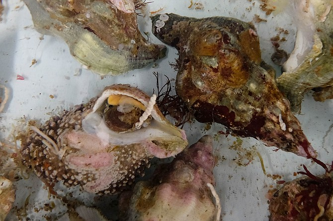 Live whelk, also known as sea snails