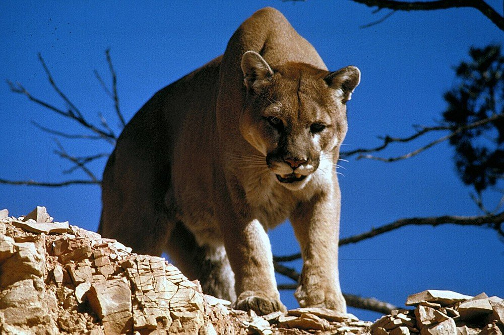 SoCal's elusive Mountain Lion