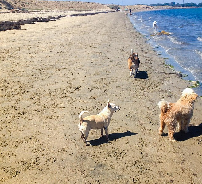 Pooch nirvana (Fiesta Island) not long ago was in danger of being butchered to make room for paddle boarders and Least Terns.