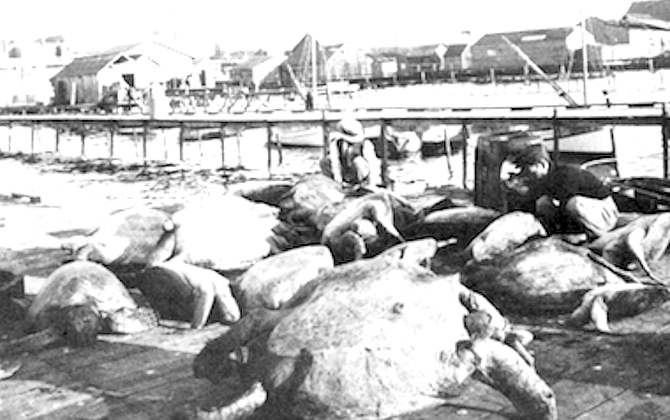 Turtles at San Diego wharf, c. 1910 - Image by San Diego Historical Society