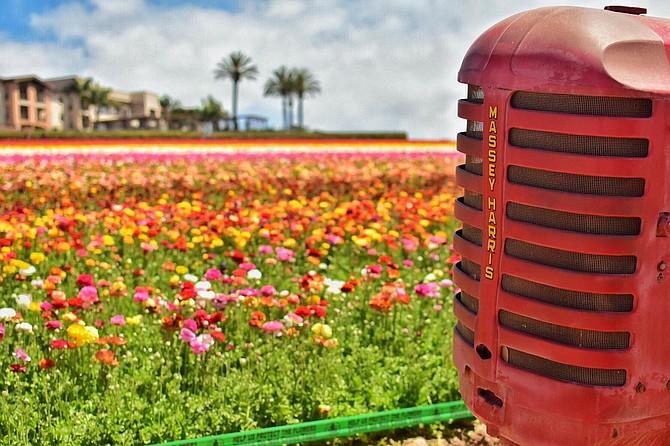 Flower Field Carlsbad