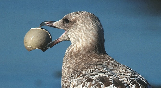 "First-Winter Western Gull, our only resident gull. ""Why would anyone ever want to leave San Diego?"" - Image by Joe Klein"