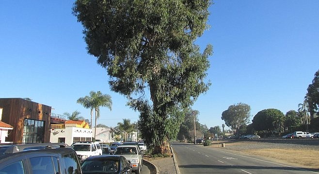 Part of the eucalyptus canopy that hovered over Highway 101, from Leucadia Boulevard to La Costa Avenue