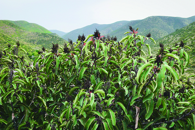 Laurel sumac is a typical plant found on the mountain