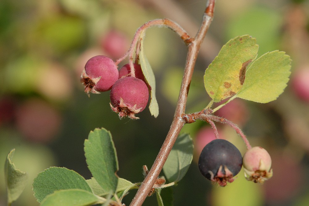 Chokecherry berries were harvested by the Kumeyaay
