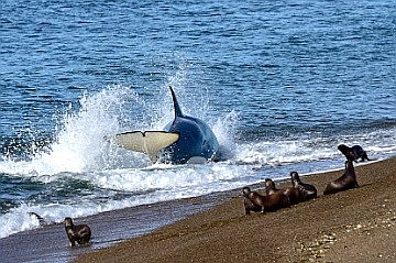Orca hunting seals on a Peninsula Valdez beach.