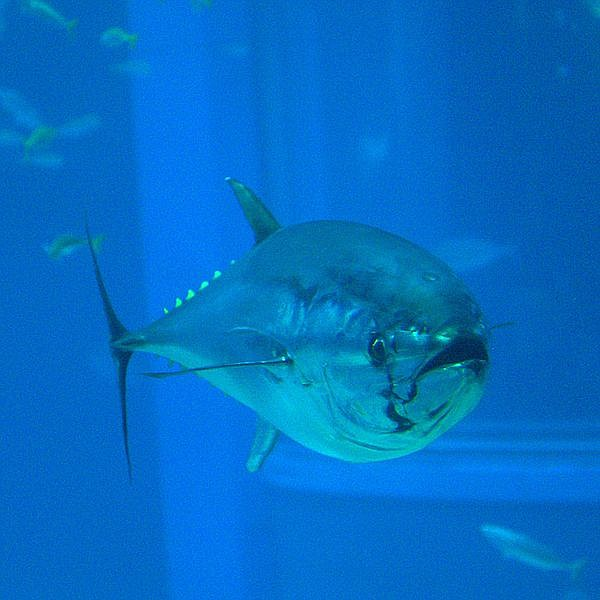Pacific bluefin tuna are known for their hard-pulling long runs.