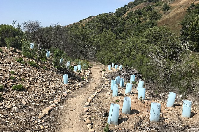 The blue cones in a restoration area are used to protect the newly-planted native plants along a rock-lined path