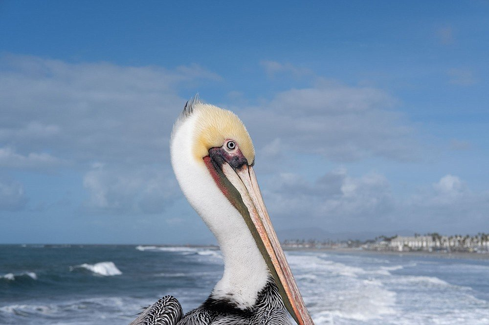 A brown pelican watches the beach