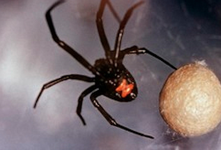"""""""The only poisonous spiders in San Diego County are the black widow, brown widow and the desert recluse."""""""
