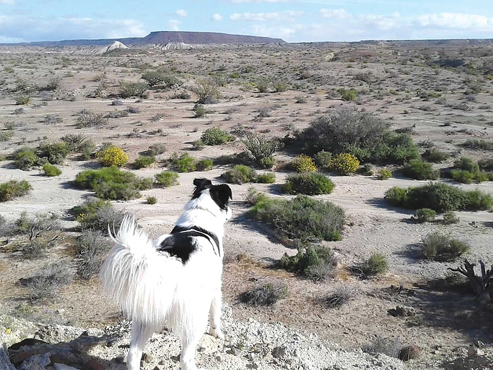 Ever-vigilant for jackrabbits, Flash Gordon eyes the brush in a valley between mesas for signs of life while I look for things long dead