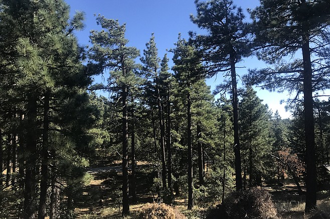 Jeffrey Pine trees climb Mount Laguna