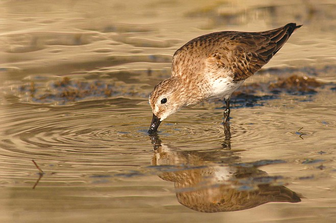 """""""Do you know what kinds of birds these are?"""" I call, pointing to the flock.  She paddles over, swoons at the babies, and says, """"I think they're sandpipers."""""""