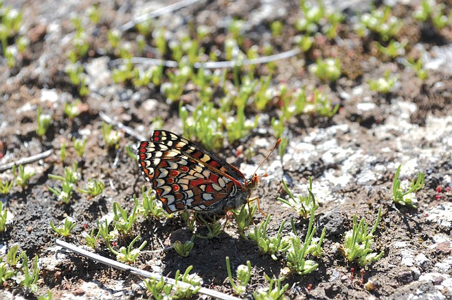 The Quino checkerspot butterfly, once prevalent in Southern California, was thought extinct 30 years ago, then showed up one day in the San Diego National Wildlife Refuge.