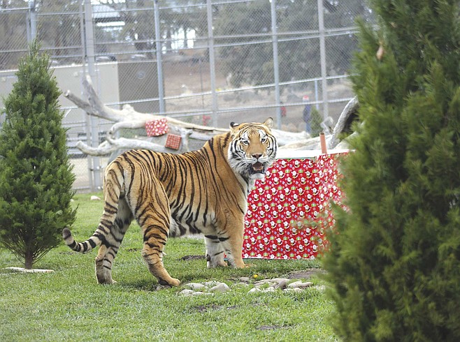 Watch the rescued bears and big cats open their presents and go wild at the Lions Tigers & Bears Holiday Open House.