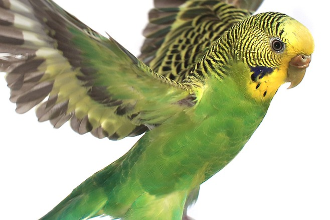All About Wild Urban Parrots