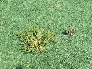 Weeds growing through fake grass