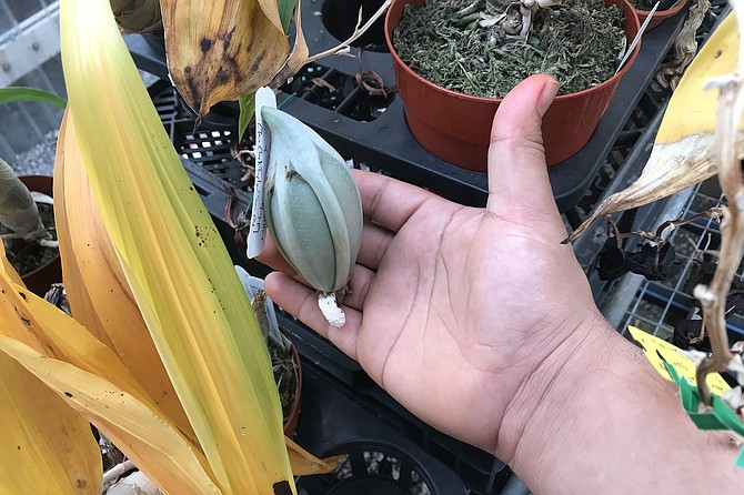 Everything's big: An orchid egg sack