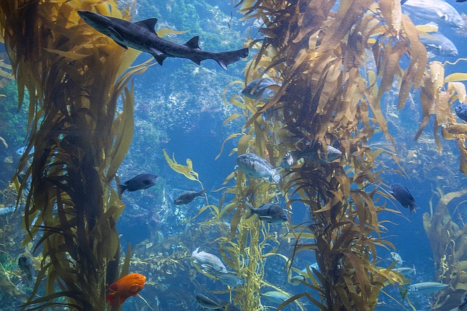 Join Birch Aquarium's Tuesday and Thursday Kelp Cam Facebook Live events. An aquarium educator will be online, answering your questions and chatting about the ocean world.