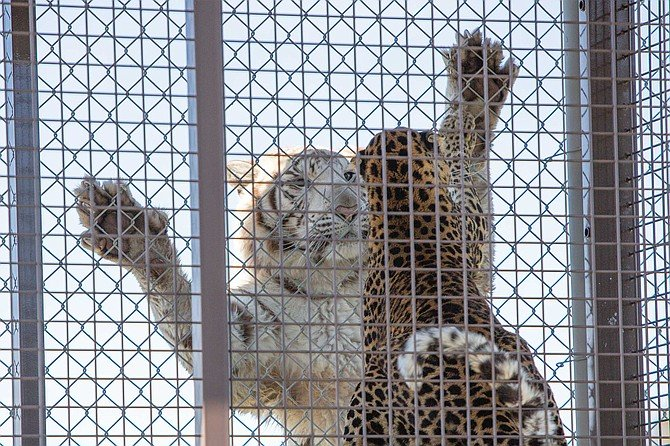 Nola, the 600-pound white tiger leaps ten feet in a single bound onto the chain-link fence containing her. To our relief, it's not us, but Conga, the German Shepard-sized leopard, taunting the big cat from a nearby enclosure.