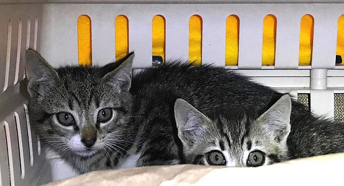 "Feral kittens. ""You feed them, and play with them so they get used to human interaction."""