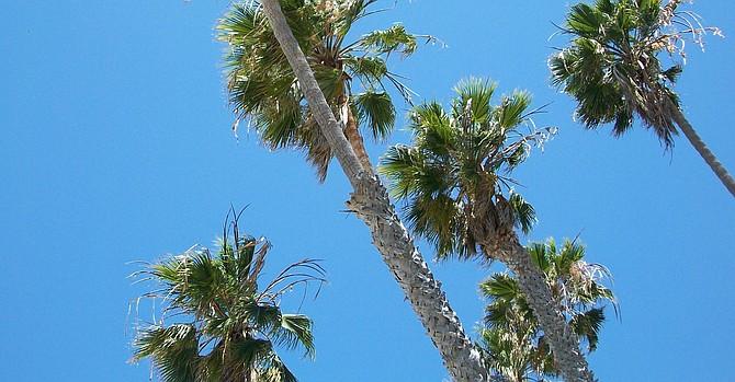 Palms at La Jolla Shores sway in the Santa Ana winds - Image by ashleym