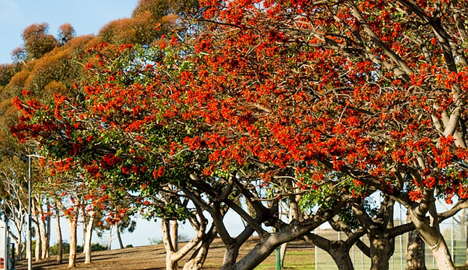 The Horticult website shows coral trees at Dennis V. Allen Park in southeast San Diego.