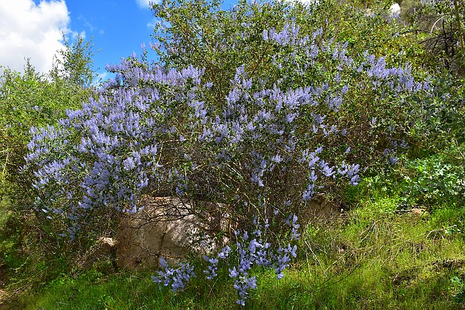 San Diego Mountain Lilac (ceanothus cyaneus), on the right (east) fork of the Rattlesnake Canyon trail, in Poway. March 24, 2018