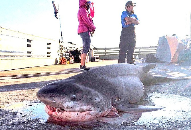 """""""My family will enjoy barbecued shark for Christmas."""""""
