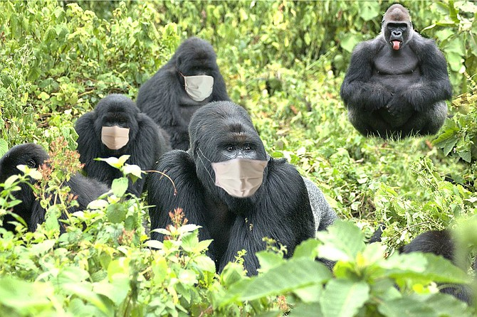 Safari Park gorillas keep their distance from Maga, the only member of the troop who refuses to wear a mask.