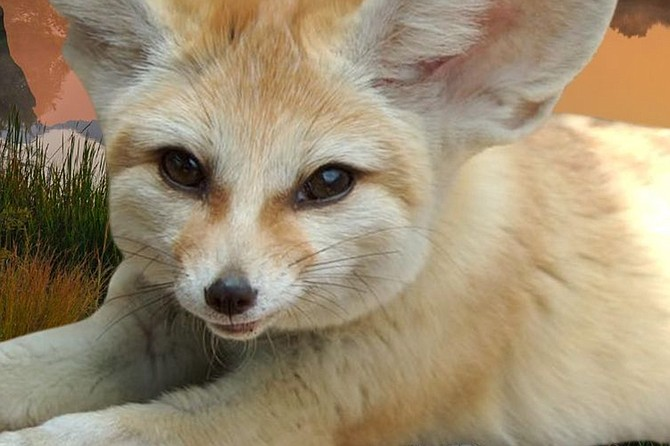 Out of Africa – meet animals like this fennec fox and others that survive and thrive in this varied ecosystem.